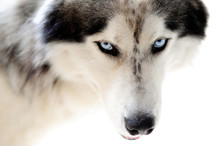 Blue eyed husky dog on seamless white