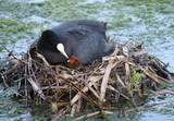 A Mother Coot Bird Tending a Chick on the Nest. poster