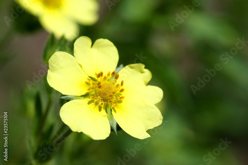 Rough Fruited Cinquefoil - Potentilla recta
