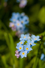 Blue forget-me-not macro in nature