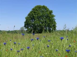 Baum, Eiche, Wiese, Kornfeld, Blumen