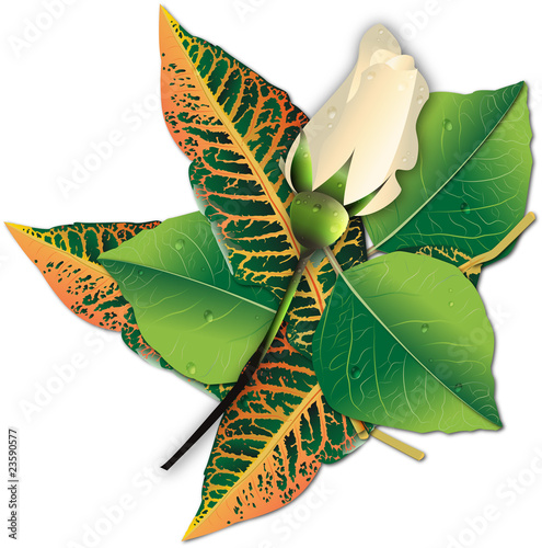 Composition of a white  Bouton roses and fresh leaves