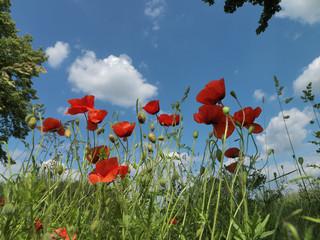 Blumen, Blumenwiese, Mohnblumen