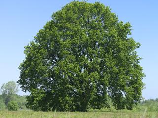 Baum, Eiche