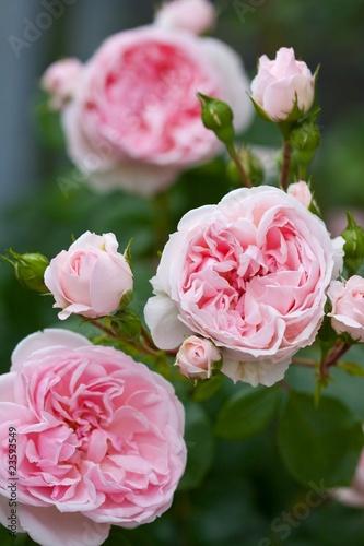 romantic roses - 23593549