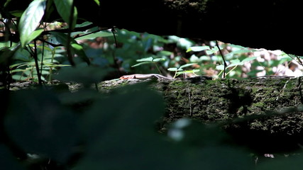 Broad Headed Skink in the Forest