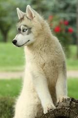 regard attentif du jeune husky sibérien