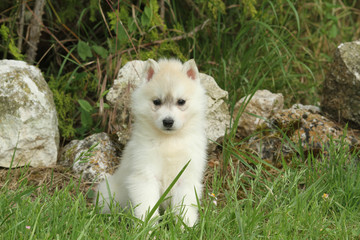 puppy siberian husky alone