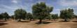 ulivi panoramica