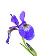 Blue iris flower isolated on white