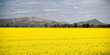 Canola crops grow beneath a hot sun