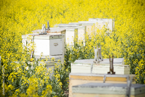 Canola crops grow beneath a hot sun, with bee hives to help