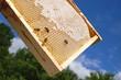 Ramka pszczela z miodem