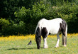 Bird and pony amid buttercups