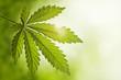 Cannabis leaf - 23639957