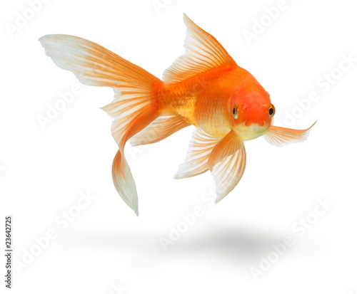 Fototapeta gold fish isolated on white