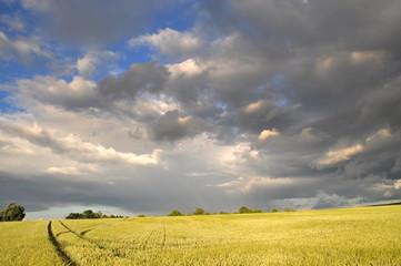 Champ de blé sous les nuages