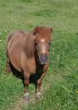 Shetland-Pony poster