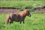 Braunes Shetland-Pony auf Wiese poster