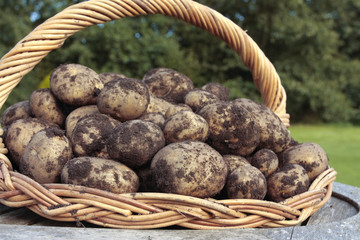 Freshly dug potatoes crop