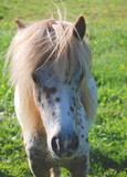 Kopfbild, Shetland-Pony, gescheckt poster