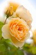 yellow romantic roses in garden