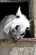 Schimmel - Pferdekopf 3