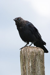 Jackdaw sitting on a picket