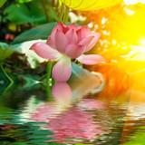 lotus - 23670347