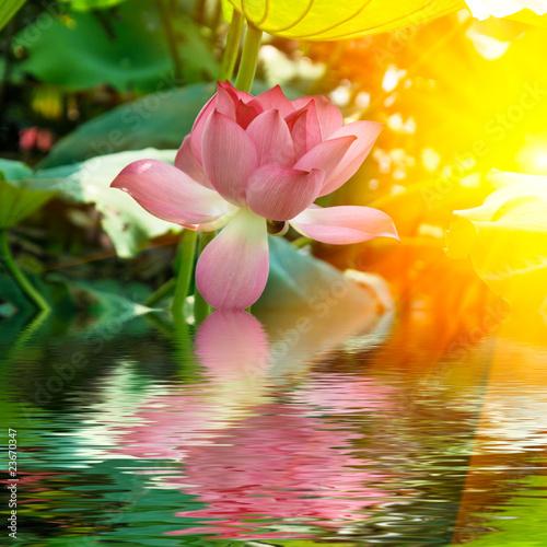 Fototapeten,blume,lotus,wasser,blühen