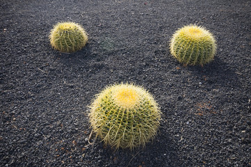 Three green cactuses
