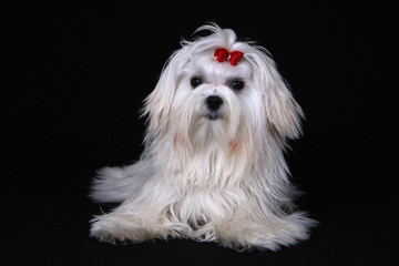 Maltese Dog sat on black background