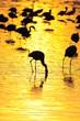 Lesser Flamingoes in sunrise at lake Nakuru, Kenya