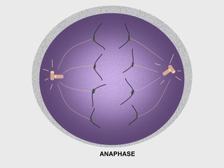 Cell division, anaphase
