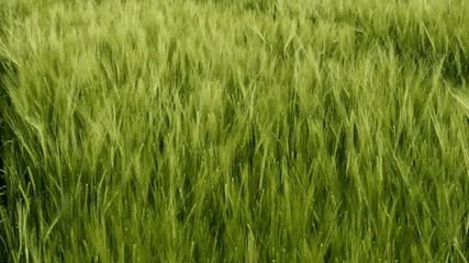 La saison du blé