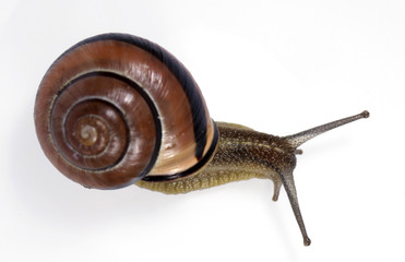 White-lipped  snail on the white background
