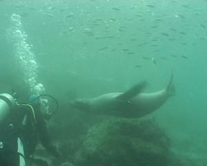 Sea lions underwater video Galapagos
