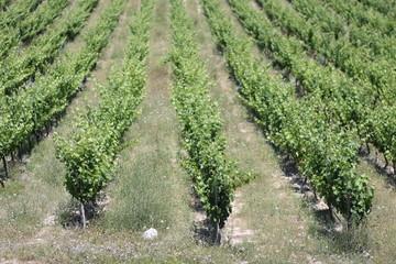Cepas de vid para vino