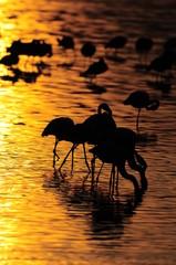 Lesser Flamingoes at sunrise at lake Nakuru, Kenya