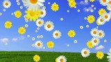 Daisy falling on blue sky background