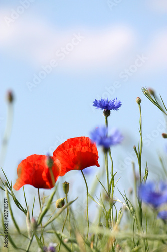 Mohn und Kornblumen - Poppy And Cornflower