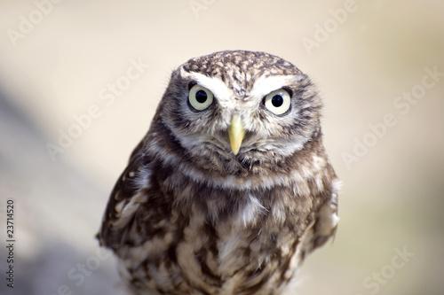 Aluminium Uil Little Owl