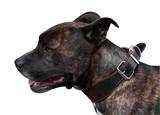 Brindle Pitbull Terrier poster