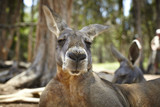 Portrait of a Kangaroo with a big snout poster