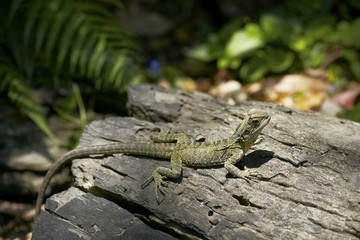 Lizard sunbathing on the log in the wilderness