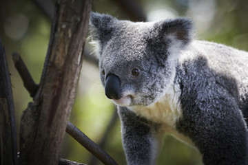 Koala climbing on a tree branches