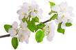 Flowering branch of apple-tree