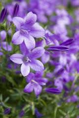 Mogentau auf Blumenwiese - Lila blau