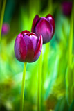Purple tulip on a green background