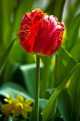 Red tulip on a green background